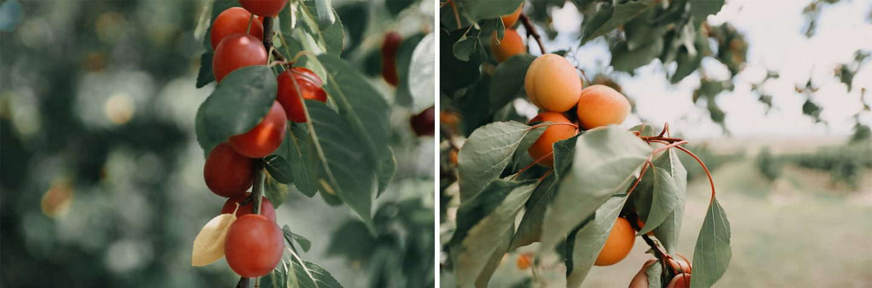 Obstparadies Marillen und Kirschpflaumenbäume in der Kellergasse