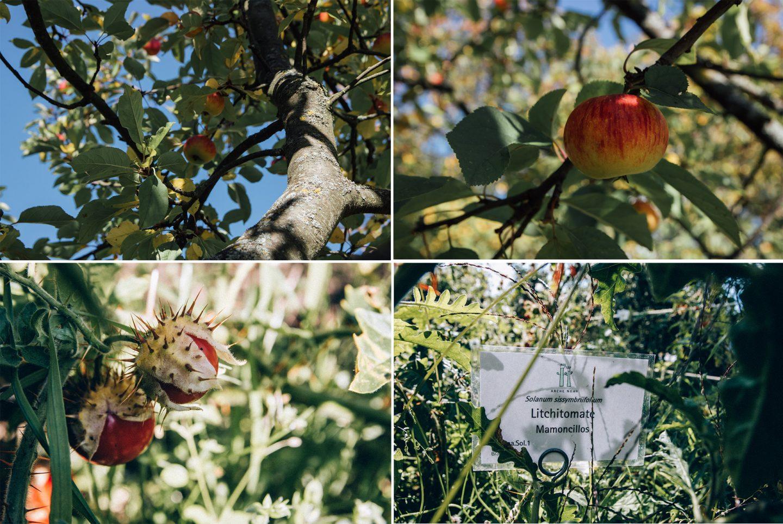 Apfelbaum und Litchitomate