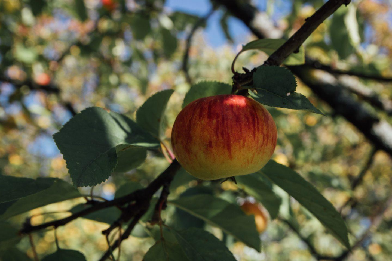 Apfelbaum im Arche Noah Schaugarten