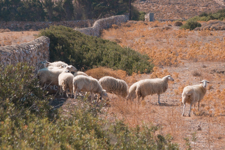 Schafe aufgewacht vom Mittagsschlaf
