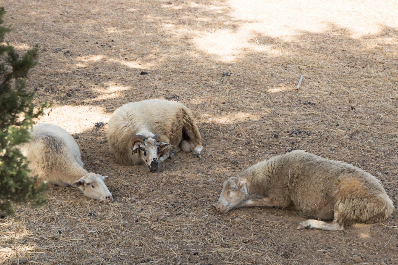 Schafe in Finikas