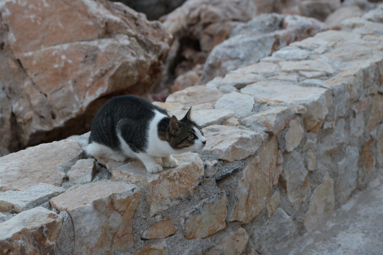 Katze konzentriert sich auf ihren Fang