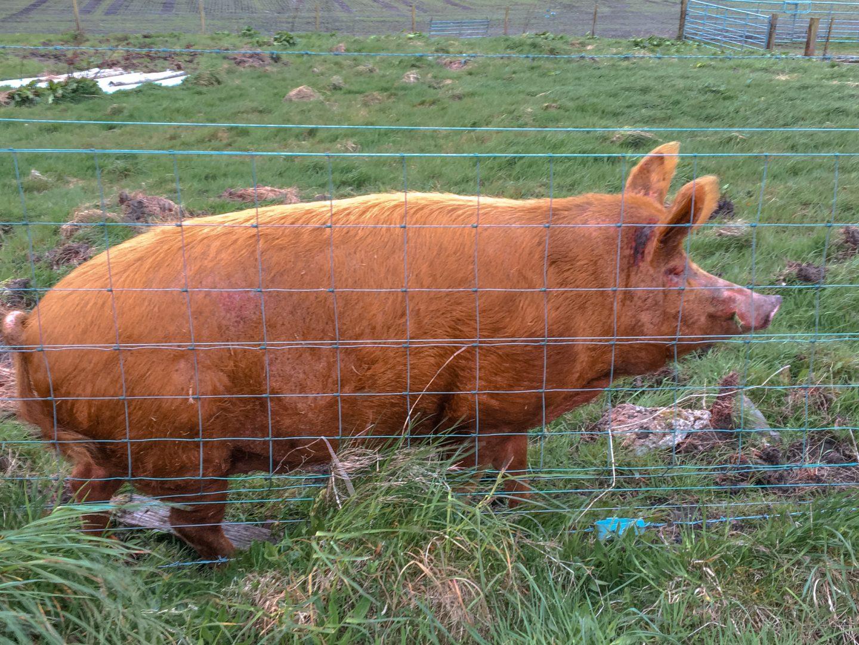 das süße Schwein Charlie ist ein großes Schwein mit braunen Borsten und lebt nahe Bowmore