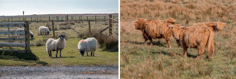 Islay Schafe und Hochlandrinder begegnen uns auf der Insel überall. Es leben hier rund 3500 Einwohnermund 22.000 Schafe