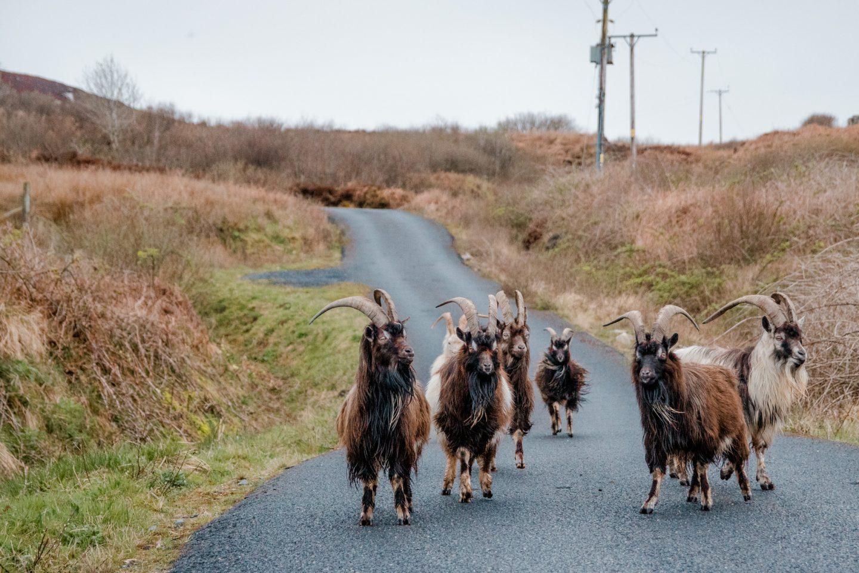 Ziegen auf dem Weg zum Strand in port Ellen beim Leuchtturm.