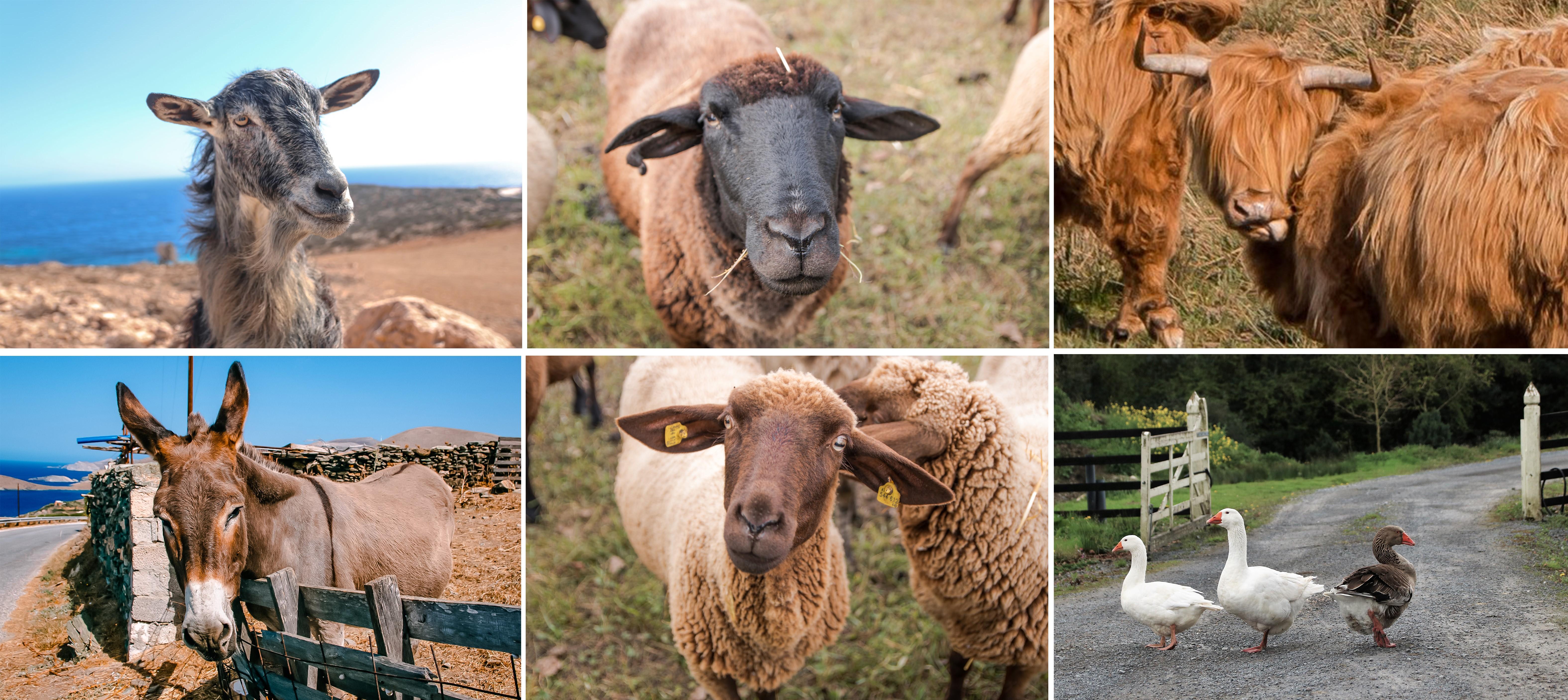 Tiere, - Schafe, Ziege, Hochlandrind, Gänse,Pferd. Sie haben Gefühle und möchten wie wir ein glückliches Leben haben - pro vegan