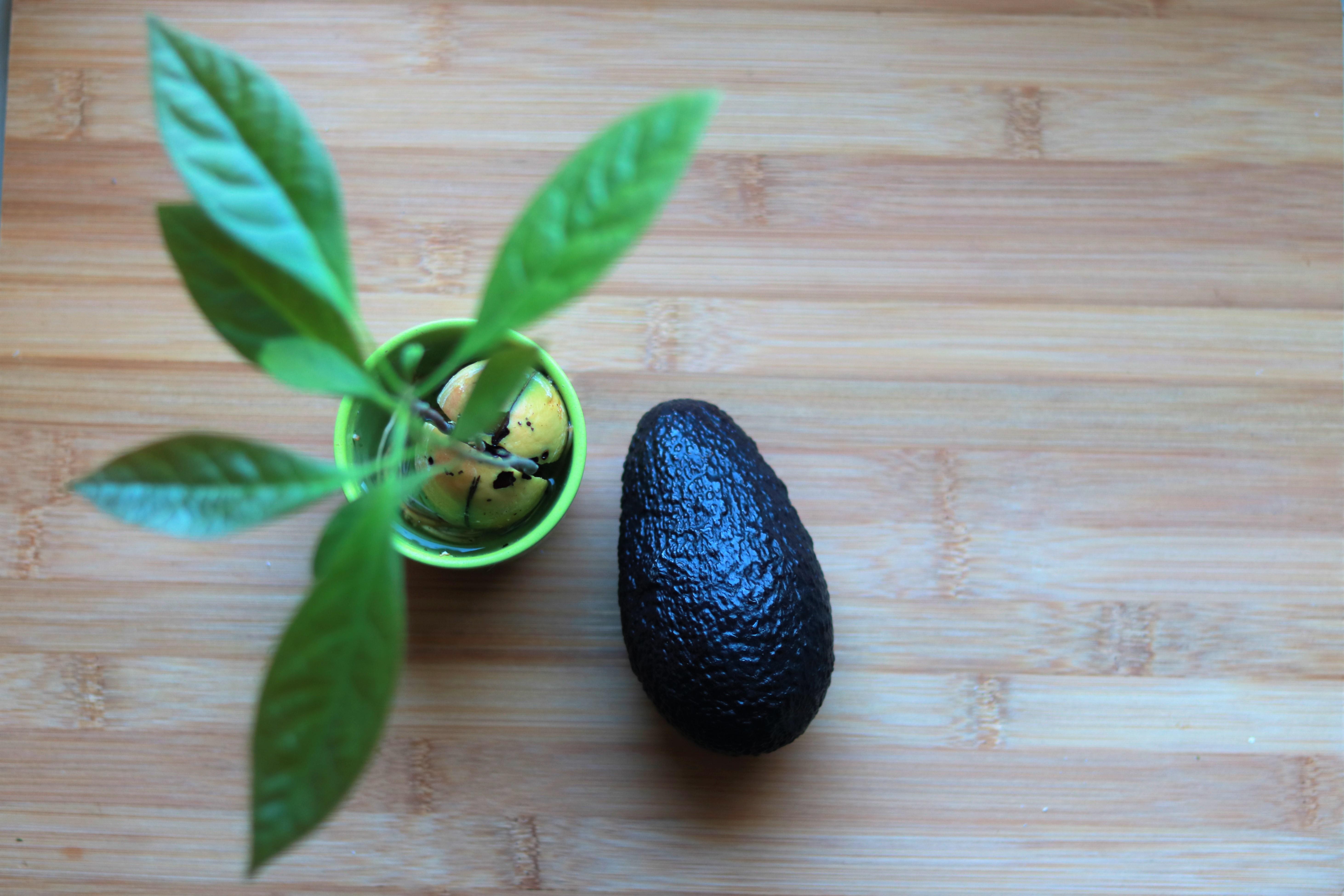 Avocadobäumchen