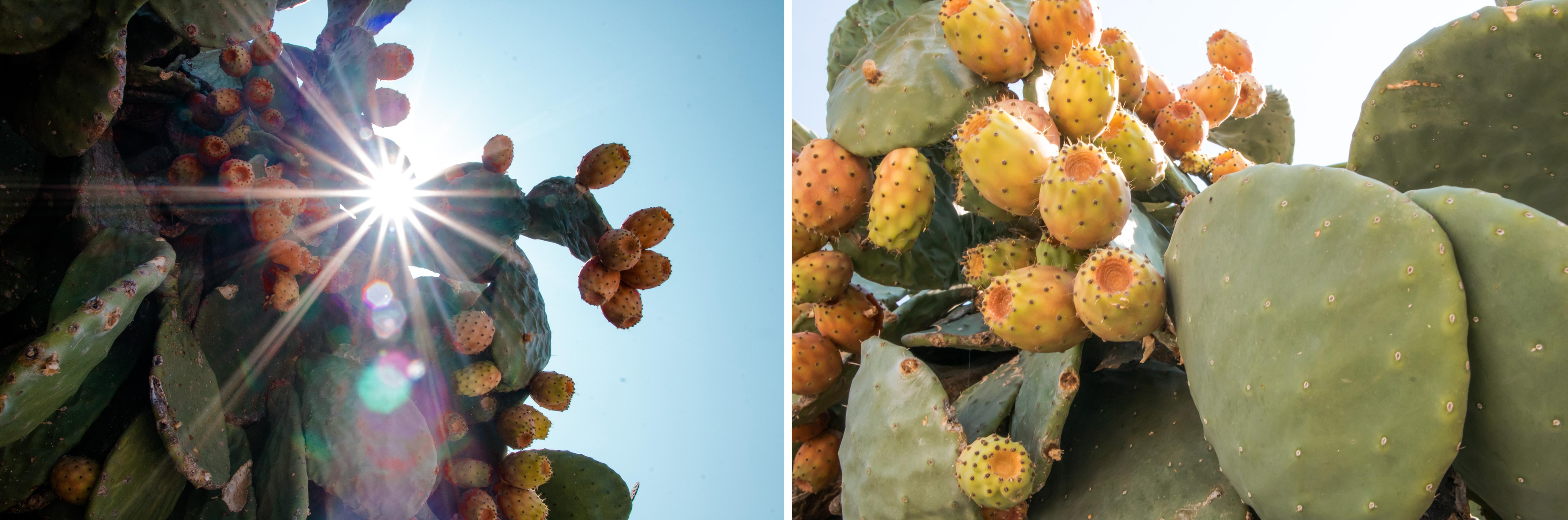 Kakteen gibt es überall auf der Insel Fourni - wundervoll, wenn die Sonne durchstrahlt