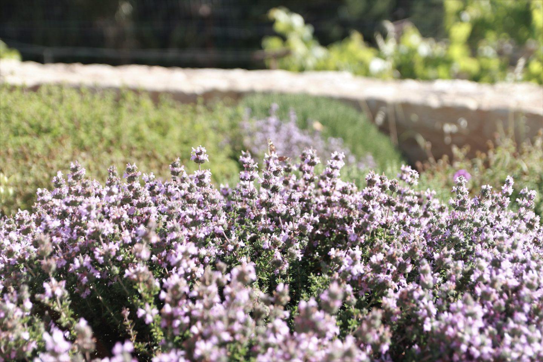 Thymian vor den Kalypso Apartments - wunderschön anzusehen mit Schmetterlingen und Bienen
